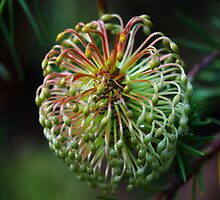 Banksia laricina by andrachne