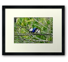 Blue Wren Family  Framed Print