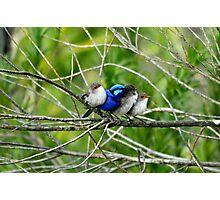 Blue Wren Family  Photographic Print