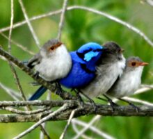 Blue Wren Family  Sticker