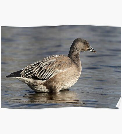 Another Blue Goose / Snow Goose Poster