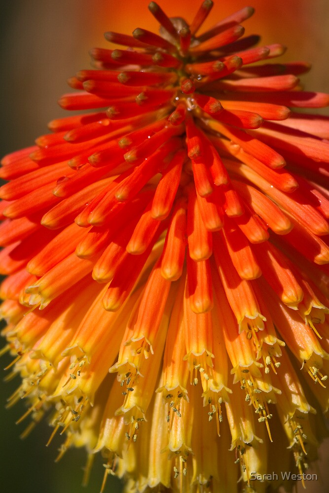 Red Hot Poker spike (flowerhead) by Sarah Weston