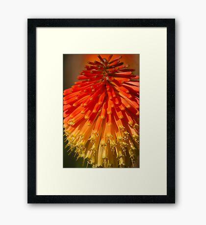 Red Hot Poker spike (flowerhead) Framed Print