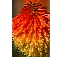 Red Hot Poker spike (flowerhead) Photographic Print