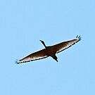 Sacred ibises in flight 2 by jozi1