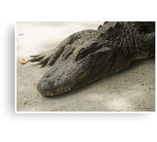 Sleeping Alligator Canvas Print