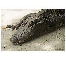 Sleeping Alligator Photographic Print