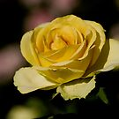 Yellow Rose 3 by Angela Pritchard