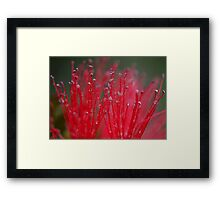 Australian Bottle Brush Framed Print