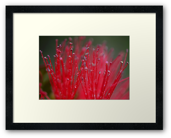 Australian Bottle Brush by SharonD