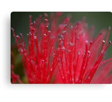 Australian Bottle Brush Canvas Print