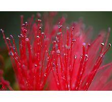Australian Bottle Brush Photographic Print