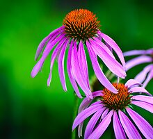 three cone flowers by Gerry Daniel