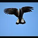 Black Cockatoo Spreading Wings by Coralie Plozza