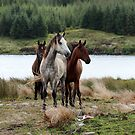 Connemara Ponies in the wild in Connemara, Ireland by ConnemaraPony