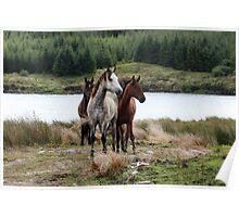 Connemara Ponies in the wild in Connemara, Ireland Poster