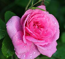 Gertrude Jekyll Rose by John Keates