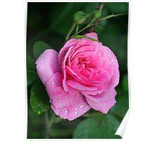 Gertrude Jekyll Rose Poster