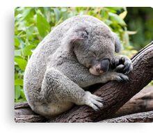 How much can a koala bear ???   Canvas Print