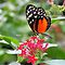 Heliconius Butterfly Calendar by Lepidoptera
