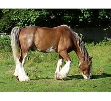Clydesdale horse grazing on Aran Islands Photographic Print