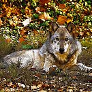 Gray Wolf in Autumn by Sandy Keeton