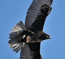 Juvenile Dark Morph/Harlan's Red-tailed Hawk by Ron Kube