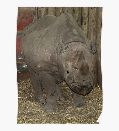 RHINO : Chester Zoo Poster