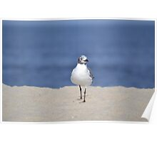 Seagull Birds  Poster