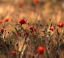 Poppies in a cornfield by intensivelight