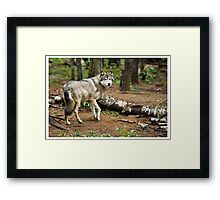 Timber Wolf - Ontario Canada Framed Print