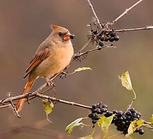 Female Northern Cardinal - Ontario Canada by Raymond J Barlow