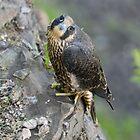 Peregrine Falcon - Niagara Falls Ontario, Canada by Raymond J Barlow