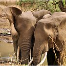 SERIES: UP-CLOSE,  AND PERSONAL,  WITH ELEPHANTS by Magaret Meintjes
