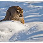 Cougar in some Snow - Ontario Canada by Raymond J Barlow