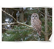 Barred Owl - Ontario Canada Poster