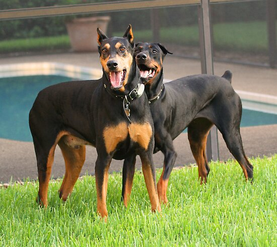 Happy rescue dobermans by jozi1