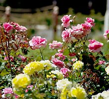 Sunlit Roses by garts