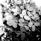 PeeGee Hydrangea by Sharon Woerner