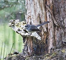 Grey Fantail  by Ron Co