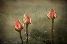 ~ Classically  Rose ~ by Lynda Heins