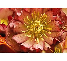 Double Hellebore Photographic Print