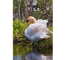 Ugly Duckling No More Photographic Print