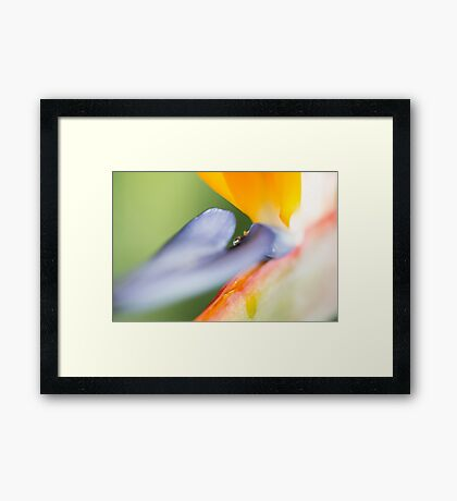 Bird of Paradise Close Up Framed Print