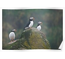 Atlantic Puffins - Newfoundland Canada Poster