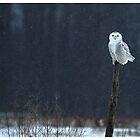 Snowy Owl - Amherst Island, Ontario Canada by Raymond J Barlow