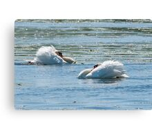 Mute Swans Displaying Canvas Print