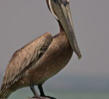 Brown  Pelican on a Piling Sticker