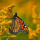 Monarch Butterfly - 23 by Michael Cummings