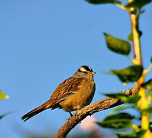 White Crowned Sparrow by Xcarguy